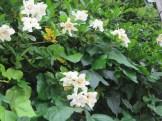 クチナシ八重 花の姿