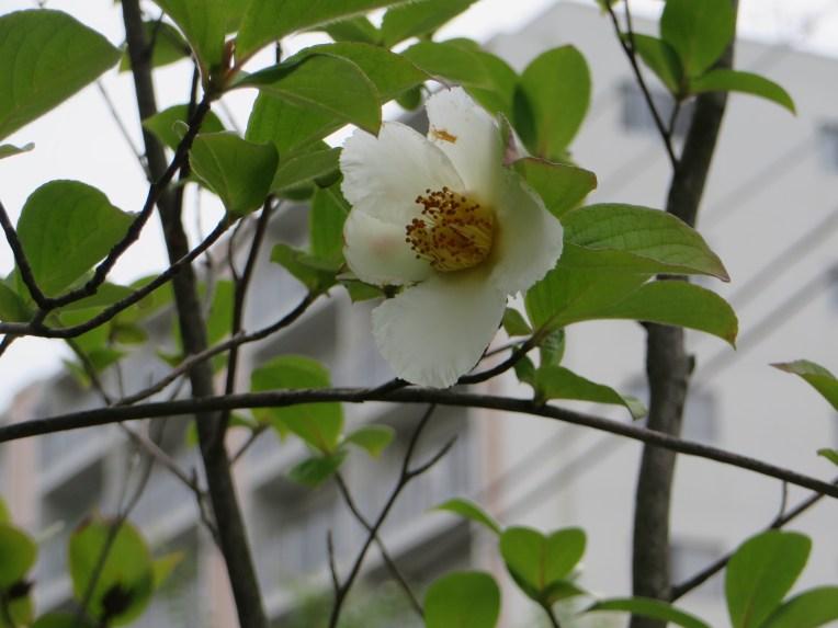 ナツツバキ/ Deciduous Camellia