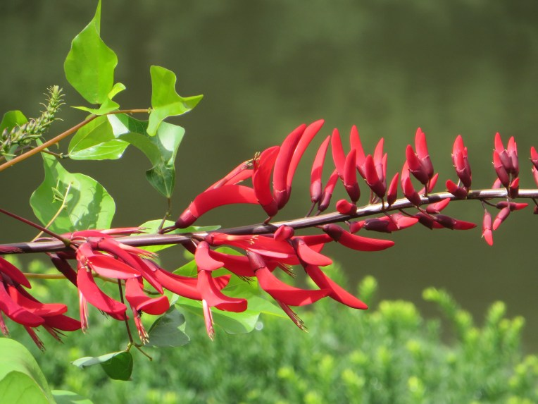 サンゴシトウ / Camden Coral Tree
