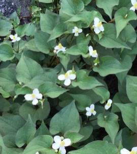 ドクダミ 群生する花