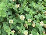 White clover / シロツメクサ