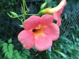 ノウゼンカズラ 花のアップ