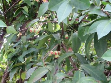 ジャワフトモモ 幼果のついた樹木