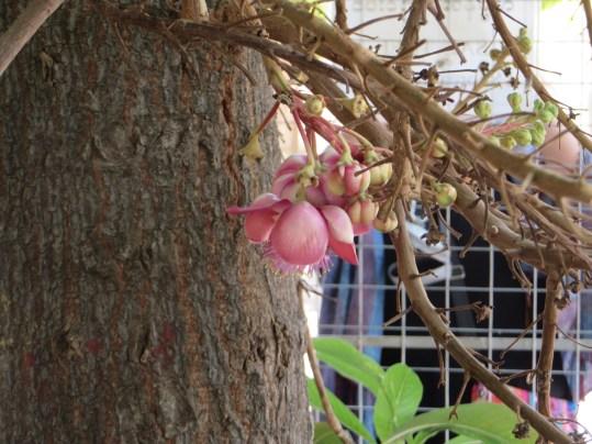 サラ Couroupita guianensis 花と蕾