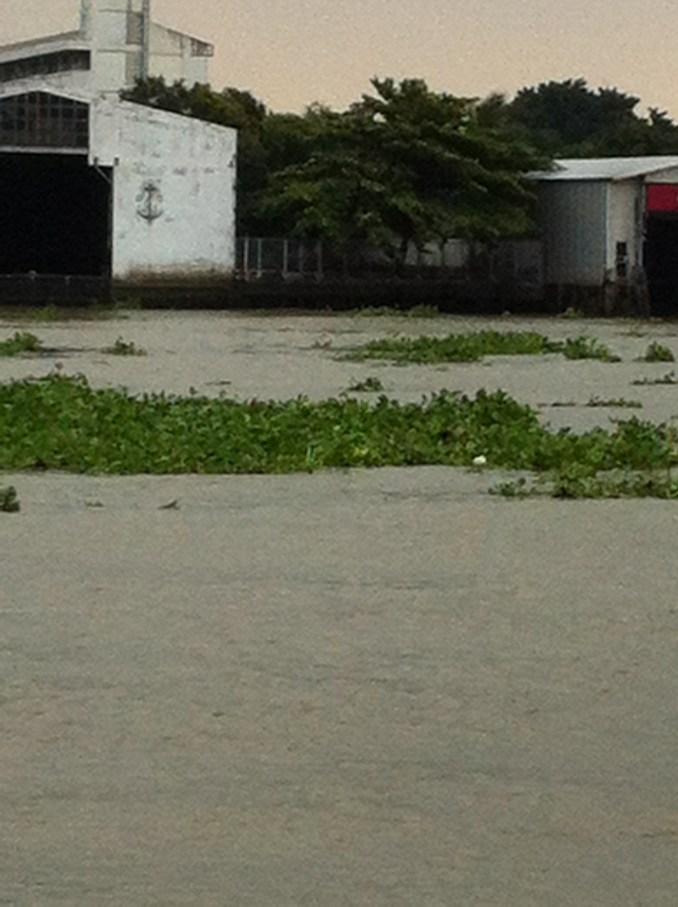 チャオプラヤ川を流れるホテイアオイ
