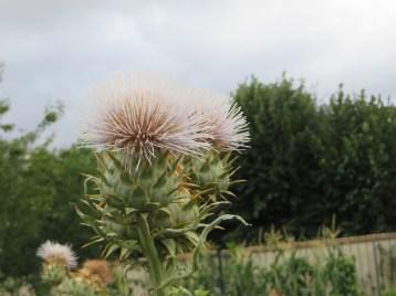 アザミ 白系花のアップ