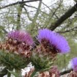アザミ 紫系花のアップ