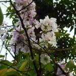 オオバナサルスベリ やや白っぽい花の姿