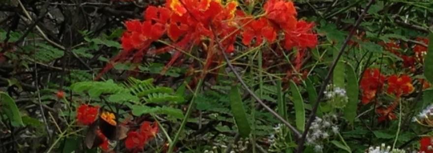 Peacock Flower/ オオゴチョウ