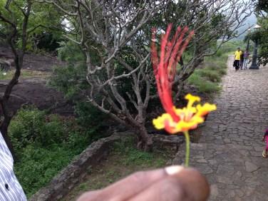 オオゴチョウ 花の姿