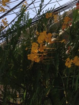 オオゴチョウ 黄色い花
