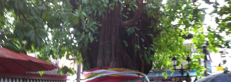 寺院の中の古木 ボダイジュ