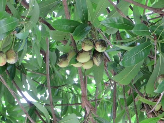ミサキノハナ 木の実の姿
