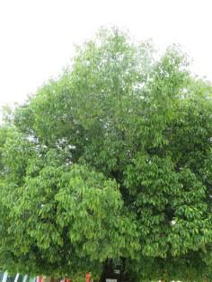 ミサキノハナ 木の姿