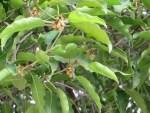 Spanish cherry/ ミサキノハナ