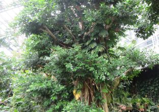 ベンガルボダイジュ/ Indian banyan