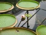 Queen Victoria's water lily/ オオオニバス