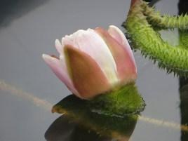 開花間近のつぼみ