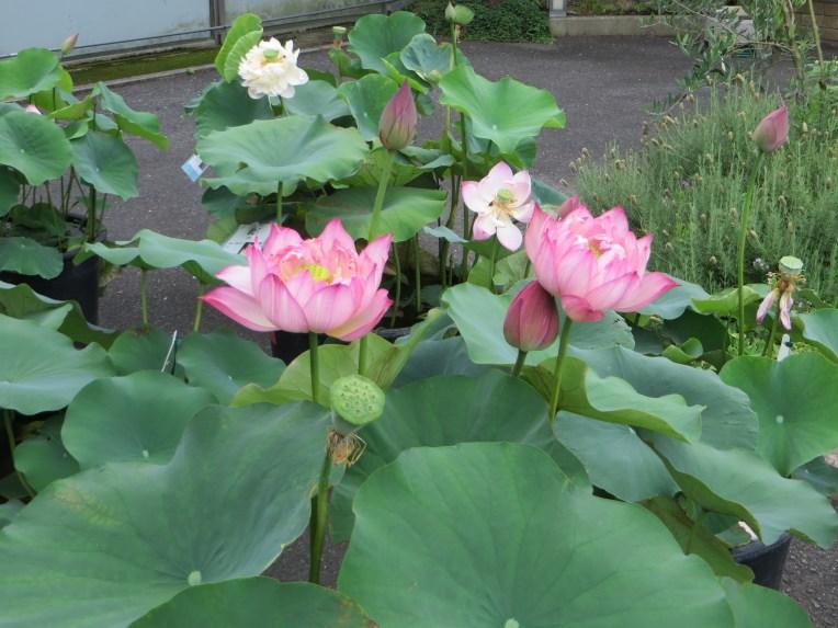 ハス/ Lotus