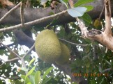 Jack fruit/ ジャックフルーツ
