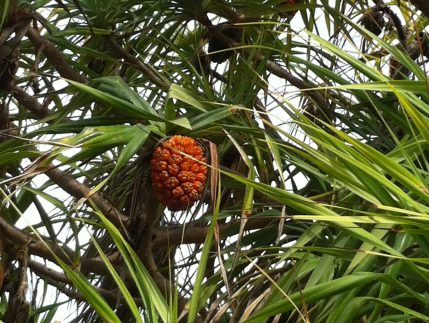 Screw Pine/ アダン