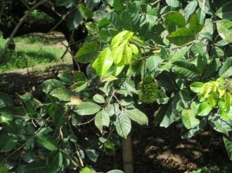 若い実のなる木の姿