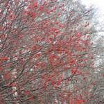 ナナカマド 赤い果実と白樺
