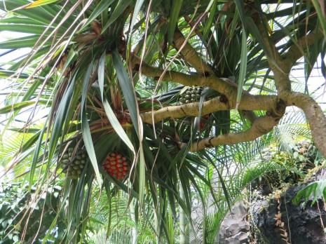 タコノキの果実と木