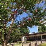 サルスベリ 木の姿