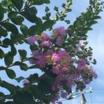 サルスベリ やや紫っぽい花