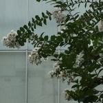 サルスベリ 白花系の百日紅