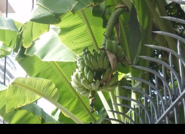 庭になっているバナナ