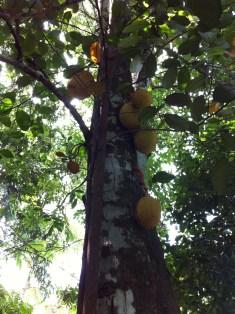 幹にぶら下がる多くの果実