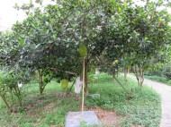 木にぶらさがる果実