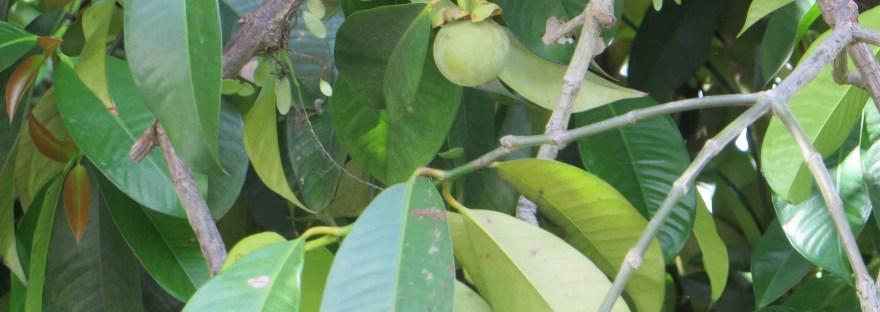 mangosteen/ マンゴスチン