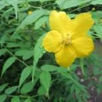 ヤマブキ 花のアップ
