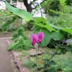 Bush clover/ ハギ(ヤマハギ)