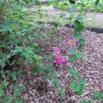 ハギ(ヤマハギ)枝と花