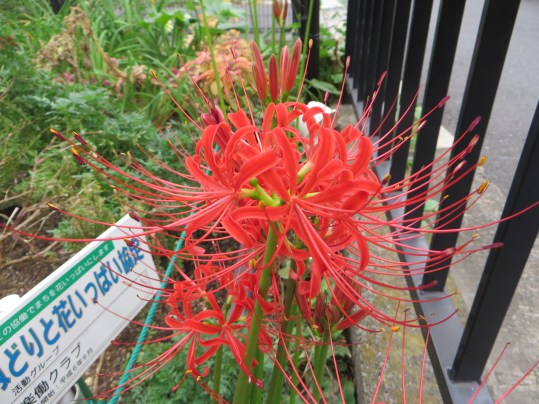 red spider lily ヒガンバナ