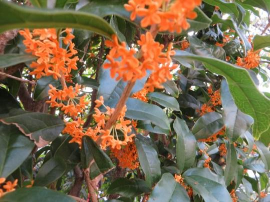 キンモクセイ 花のアップ
