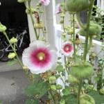 タチアオイ 白とピンクの花