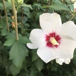 Rose of Sharon/ ムクゲ