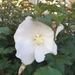 ムクゲ 白色の花