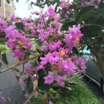 サルスベリ 赤紫系の花