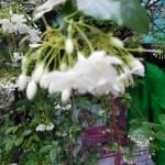 オマツリライトノキ 群れて咲く花の様子