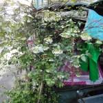 オマツリライトノキ 花と木の様子