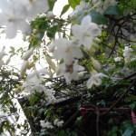 オマツリライトノキ 下から見た花の様