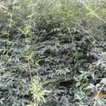 モッコウバラ 原種