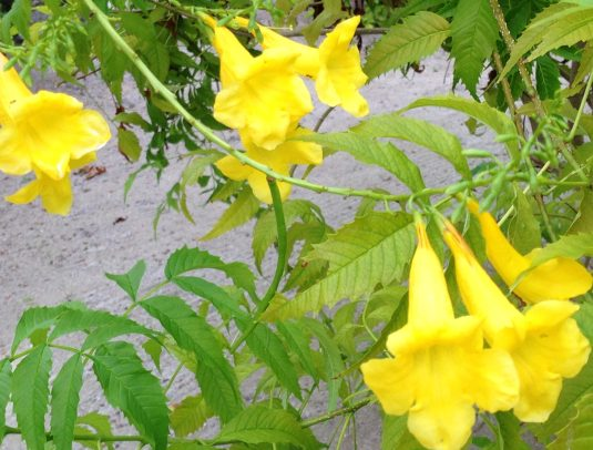 yellow bells/ キンレイジュ