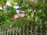 花の様子 オオベニゴウカン